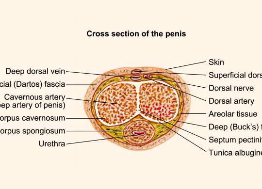 Cross section penis